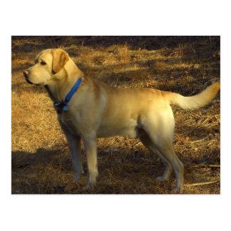 Carte Postale Préparez pour chasser, Labrador fier au soleil