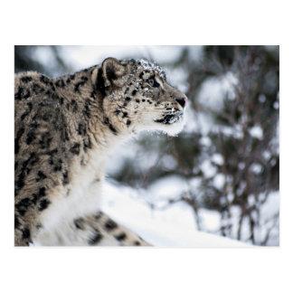 Carte Postale Profil de léopard de neige