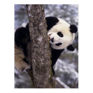 Carte Postale Province de l'Asie, Chine, Sichuan. Panda géant