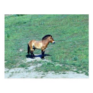 Carte Postale (Przewalskii) cheval sauvage mongol