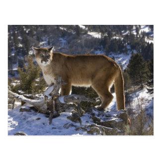 Carte Postale Puma, aka puma, puma ; Concolor de puma,