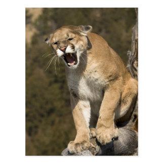 Carte Postale Puma ou puma, concolor de puma, captif -