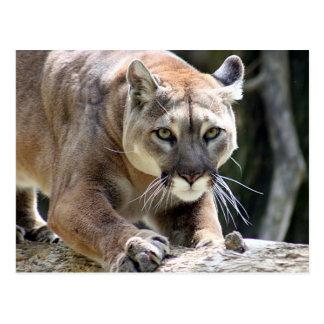Carte Postale Puma sauvage
