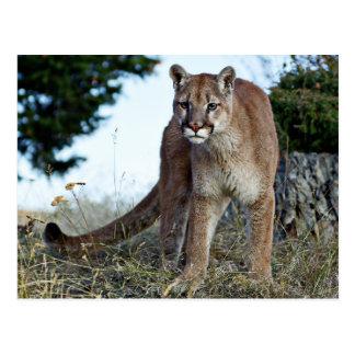 Carte Postale Puma sur la montagne