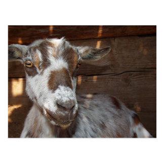 Carte postale pygméenne de chèvre