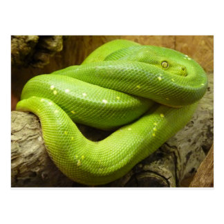 Carte Postale Python vert d'arbre
