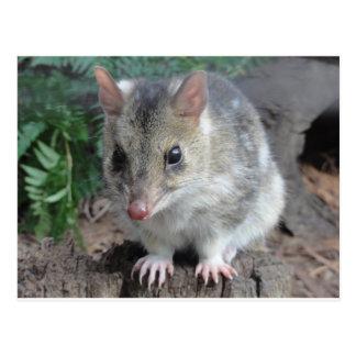 Carte Postale Quoll de la Tasmanie