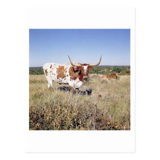 Carte Postale Race du Texas Longhorn (photo)