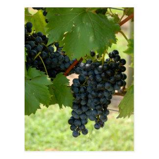 Carte Postale Raisins de vignoble