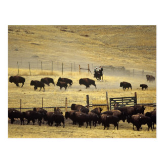 Carte Postale Rassemblement national de chaîne de bison au