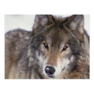 Carte Postale Regard fixe de loup