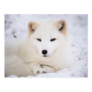 Carte Postale Renard arctique blanc