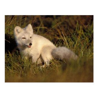 Carte Postale renard arctique, lagopus d'Alopex, manteau