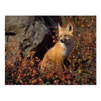 Carte Postale renard rouge, vulpes de Vulpes, dans des couleurs