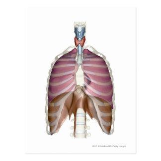 Carte Postale rendu 3d de l'appareil respiratoire