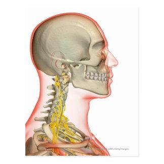 Carte Postale Rendu des nerfs du cou