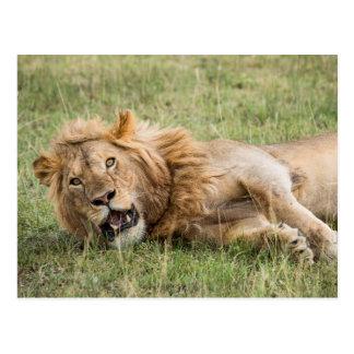 Carte Postale Repos masculin de lion