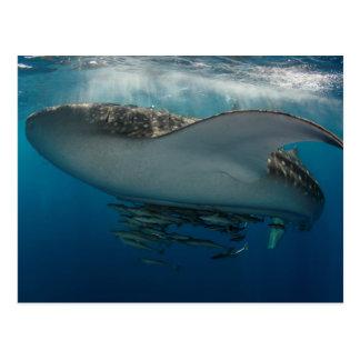 Carte Postale Requin de baleine avec le Remora