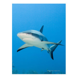 Carte Postale Requin des Caraïbes de récif (perezi de