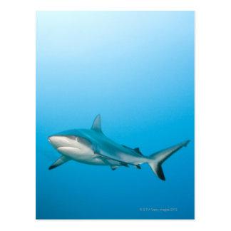 Carte Postale Requins gris de récif (amblyrhnchos de