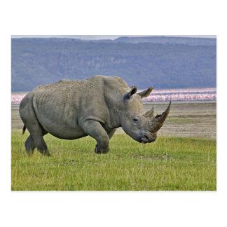 Carte Postale Rhinocéros et éloigné blancs peu de flamants,