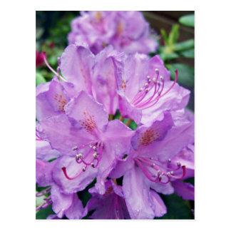 Carte Postale Rhododendron mauve