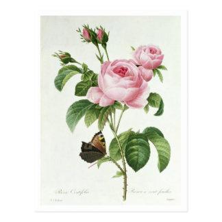 Carte Postale Rosa Centifolia