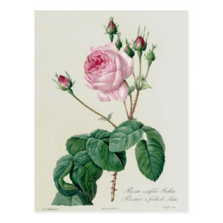 Carte Postale Rosa Centifolia Bullata
