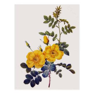 Carte Postale Rosa Eglanteria, P.J. Redoute, roses jaunes