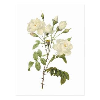 Carte Postale rose blanc (campanulata de Rosa alba) par Redouté