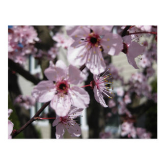 Carte postale rose d'arbre fleurissant de fleurs