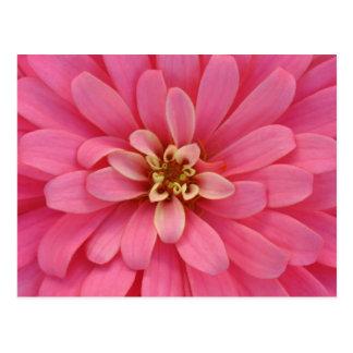 Carte postale rose de fleur de Zinnia