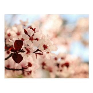 Carte postale rose de fleurs de cerisier