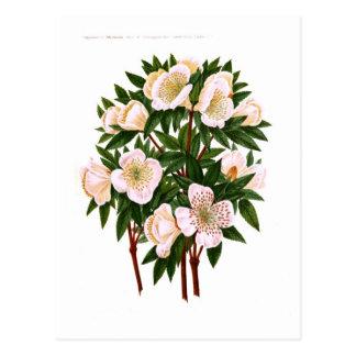 Carte Postale Rose de Noël
