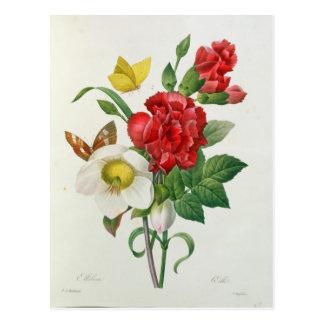 Carte Postale Rose de Noël, Helleborus Niger