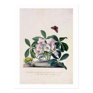 Carte Postale Rose de Noël (Helleborus Niger) et hiver Aconi