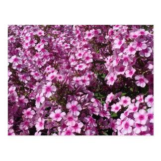 Carte postale rose de Phlox