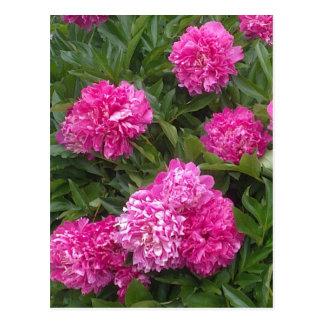 Carte postale rose de pivoines