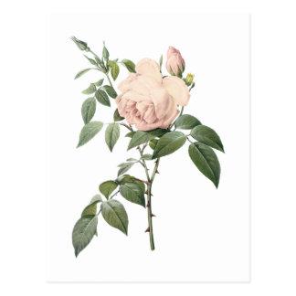 Carte Postale rose de thé parfumé par Redouté