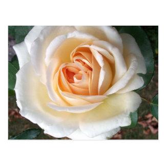 Carte postale rose d'été blanc en ivoire