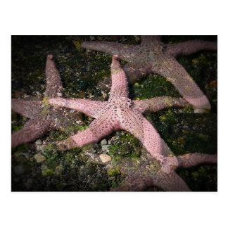 Carte postale rose d'étoiles de mer