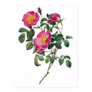 Carte Postale Roses de Pierre Joseph Redoute