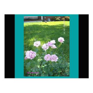 Carte Postale Roses de stupéfaction Lavendar