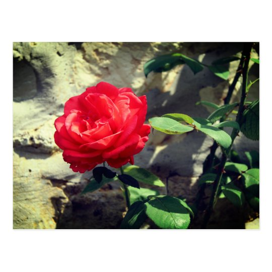 Carte postale Roses Rouge