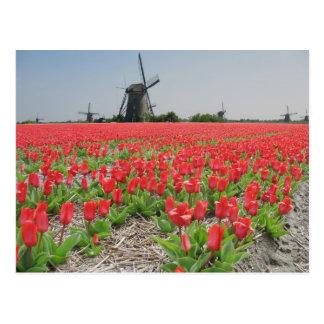 Carte postale rouge de tulipes de moulins à vent