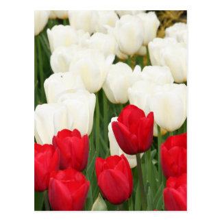 Carte postale rouge et blanche de tulipes