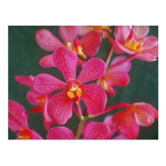 Carte Postale Rouge fleurs d'un hybride d'orchidée