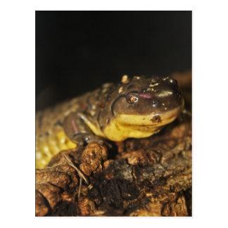 Carte Postale Salamandre de tigre