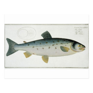 Carte Postale (Salmo Salar) plat saumoné XX de 'Ichthyologie,