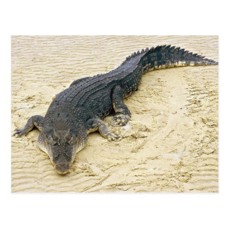 Carte Postale Salt de water crocodile (Crocodylus porosus)